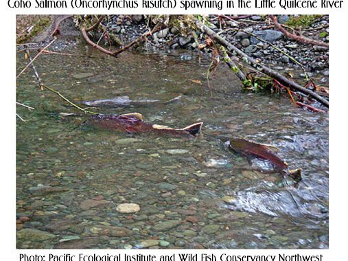 Coho Salmon spawning in Little Quilcene River
